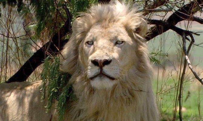 Белый лев, фильм