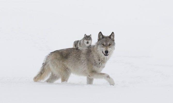Девушка и волки, фильм