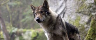 Лучшие фильмы о волках